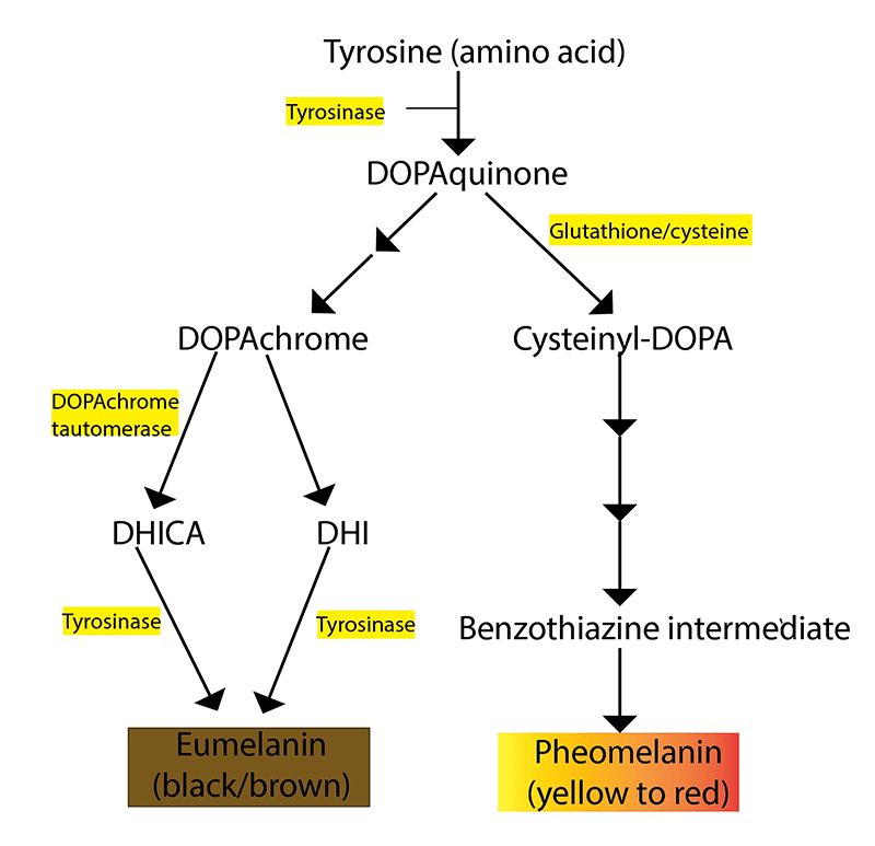 Cơ chế làm trắng da của Glutathione